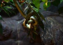 Goldene Baum-Schlange Stockfotografie