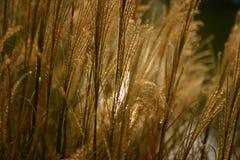 Goldene Binse Lizenzfreies Stockfoto