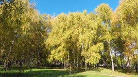 Goldene Birkenbäume stock video
