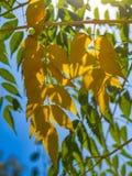 Goldene Blätter auf einer Niederlassung eines Baums auf einem Hintergrund von grünen Blättern und von blauen Himmel Übertragung stockfoto
