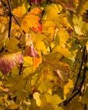 Goldene Blätter des Herbstes Lizenzfreies Stockfoto