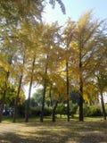 Goldene Blätter des Herbstes von Ginkgobäumen lizenzfreies stockfoto