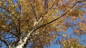 Goldene Blätter eines Suppengrüns stock video