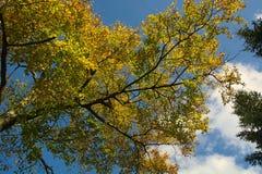 Goldene Blätter gegen blauen Himmel mit Wolken Stockbilder
