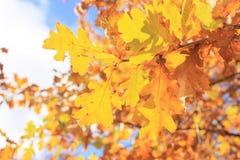 Goldene Blätter im Fall Stockbilder