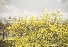 Goldene Blüte Norwegen-Ahorns (Acer-platanoides) Stockbild