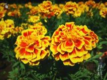 Goldene Blume Stockfotos