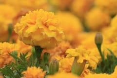 Goldene Chrysantheme des Herbstes stockfotos