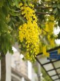 Goldene Duschbaum, (Cassia Fistula) stockfotos