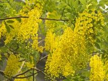 Goldene Duschbaum, (Cassia Fistula) lizenzfreie stockbilder