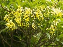 Goldene Duschbaum, (Cassia Fistula) lizenzfreies stockfoto