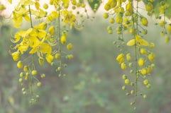 Goldene Duschbaum oder Kassiefistel Lizenzfreie Stockbilder