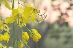 Goldene Duschbaum oder Kassiefistel Stockfoto