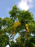 Goldene Duschblumen auf Baum Stockfotos