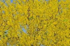 Goldene Duschblumen auf dem Baum Stockbilder