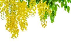Goldene Dusche auf weißem Hintergrund Stockbild
