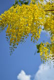 Goldene Dusche (Cassis Fistel Linn) Stockfotografie