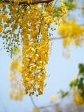 Goldene Dusche (Kassiefistel), nationale Blume der gelben Blume von Thailand Lizenzfreie Stockbilder