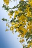 Goldene Dusche/schöne gelbe Blumen auf Grün verlässt klares s Lizenzfreie Stockfotografie