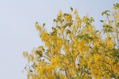 Goldene Duscheblumen stockfotos