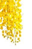 Goldene Duschekassiefistel, schöne Blume in der Sommerzeit Lizenzfreies Stockbild