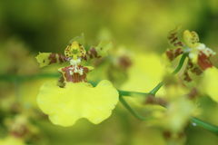 Goldene Duschorchidee Stockfotografie