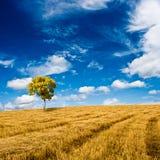 Goldene Eiche, die auf dem Feld steht stockfotos