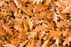 Goldene Eichenblätter Stockfoto