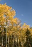 Goldene Espen und Mond Stockbilder