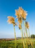 Goldene Federn des Pampasgrases gegen einen hellen blauen Himmel Stockbild