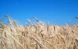 Goldene Felder Stockbild
