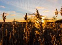 Goldene Felder Lizenzfreie Stockfotografie