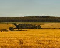 Goldene Felder des Moray Stockbilder