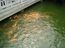 Goldene Fische Stockbilder