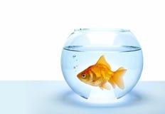 Goldene Fische Stockfotografie