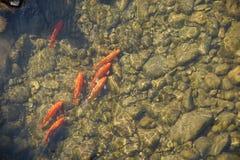 Goldene Fische Stockbild