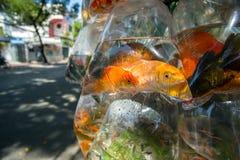 Goldene Fische in der Plastiktasche Stockfotos