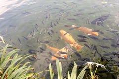 Goldene Fische zusammengepaßt mit anderen Lizenzfreie Stockfotos