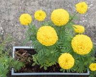 Goldene frische Ringelblume Stockbild