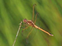 Goldene geflügelte Abstreicheisen-Libelle Stockfotos