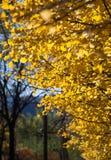 Goldene gelbe Blätter des Defocused Fall Ginkgo-Baums im Herbst stockbild