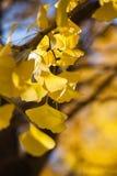 Goldene gelbe Blätter des Defocused Fall Ginkgo-Baums im Herbst stockfoto