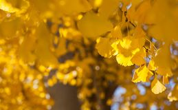 Goldene gelbe Blätter des Defocused Fall Ginkgo-Baums im Herbst stockfotos