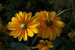 Goldene gelbe Gänseblümchen stockbild