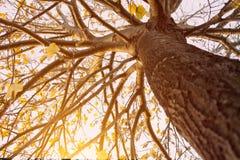 GOLDENE GELBE HERBST TREETOP-ANSICHT BUNTE FALL-BLÄTTER AUF SONNENUNTERGANG lizenzfreies stockfoto
