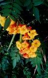 Goldene gelbe Trompete-förmige Blumen stockbilder