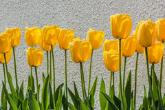 Goldene gelbe Tulpen gegen strukturierte weiße Wand Lizenzfreies Stockfoto