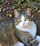 Goldene gemusterte Katze Lizenzfreies Stockfoto