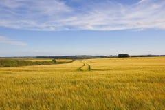 Goldene Gerstenfelder auf den Yorkshire-Wolds Stockbild