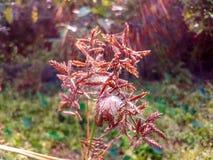 Goldene Getreide mit versteckter Spinne stockfotos